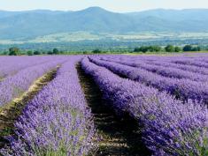 Lavender555